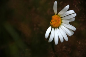 imperfect daisy